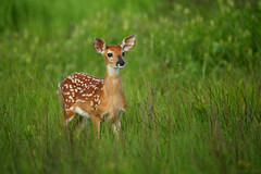 """Invitation: Join Me for """"Whitetail Fawns and More""""! (Bryan Carnathan) Tags: fawn whitetail deer baby natgeo natgeoyourshot wildlife photography outdoor photographer nature shenandoahnationalpark shenandoah snp bigmeadows nationalpark virginia va spring ngc"""