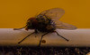 Some fly (raymond_zoller) Tags: canon fliege insekt lightroom fly mosca mouche мува муха насекомое тварь ბუზი