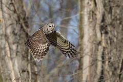 Barred Owl (Matt Shellenberg) Tags: barred owl barredowl missouri matt shellenberg flight