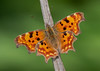 Comma (Dexon123) Tags: polygonia calbum comma butterfly uk essex nature wildlife insect ngc