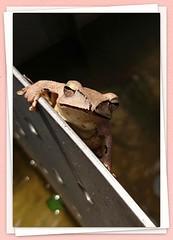 白頜樹蛙(Polypedates megacephalus) (driftcloud) Tags: 白頜樹蛙 polypedatesmegacephalus 樹蛙
