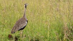 Nairobi-Nationalpark-6511 (ovg2012) Tags: hartlaubsbustard hartlaubtrappe kenia kenya lissotishartlaubii nairobi nairobinationalpark safari