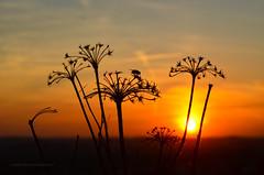 Sunset & the fly (ChemiQ81) Tags: 2018 polska poland polen polish polsko chemiq польша poljska polonia lengyelországban польща polanya polija lenkija ポーランド pólland pholainn פולין πολωνία pologne puola poola pollando 波兰 полша польшча spring wiosna jaro kwiaty flower kwiat wiosenny outdoor plant sunset fly zachód słońca sun mucha