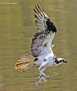 Osprey With Two Fish - Explored