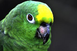 _DSC0077 Parrot