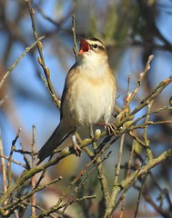 Sedge Warbler Serenade - Druridge Ponds (Gilli8888) Tags: northeast northumberland birds wetlands countryside druridge druridgeponds warbler sedgewarbler nikon p900 coolpix nature