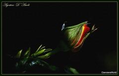 Bocciolo di rosa - Maggio-2018 (agostinodascoli) Tags: rosa bocciolodirosa nikon nikkor fiori nature texture cianciana sicilia agostinodascoli primavera maggio
