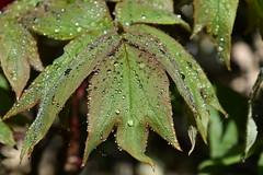 DSC_7701 (griecocathy) Tags: arbre pivoine feuille eau gouttelette éclat vert végétations saumon lumière