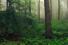 Green (Netsrak) Tags: baum bäume eu europa europe landschaft natur nebel wald fog landscape mist nature tree trees woods rheinbach nordrheinwestfalen deutschland de