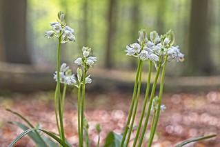 White flowers in Tudor wood