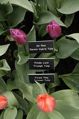 _MG_5661 (condor avenue) Tags: tulipfestival skagitvalley washington flowers colorspam skagitcounty tulipfields hyacinths daffodils spring