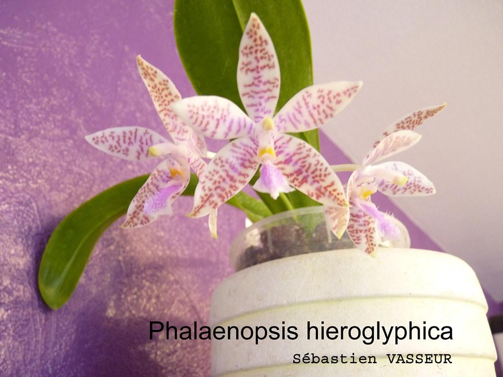 phalaenopsis_hieroglyphica-small