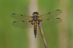 Four-spotted chaser - Libellula quadrimaculata - Male (Visual Stripes) Tags: dragonfly odonata insect invertebrate sigma135400mm panasoniclumixg1 microfourthirds m43 mft nature