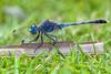 Jean Blue - _TNY_3738 (Calle Söderberg) Tags: macro canon canon5dmkii canonef100mmf28usmmacro canoneos5dmarkii 5d2 flash meike mk300 glassdiffusor vietnam phuquoc mercuryphuquocresortvillas odonata dragonfly trollslända blue grass twig insect libellulidae libelluloidea segeltrollslända chalkypercher groundskimmer bluegroundskimmer phalerata braminea diplacodes trivialis blueeyes compoundeyes lawn profile f95