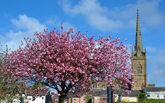 Colour in Preston (Tony Worrall) Tags: preston lancs lancashire city england regional region area northern uk update place location north visit county attraction open stream tour country welovethenorth nw northwest britain english british gb capture buy stock sell sale outside outdoors caught photo shoot shot picture captured spring cherryblossom seasonal tree beauty nature natural pink life spire church summer
