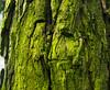 Green Tree Trunk (Orbmiser) Tags: kfconceptlensmountadapternikonglenstomicro43 nikkor28105mmf3545d nikonlens omdem1 manual olympus oregon portland m43rds tree trunk green lichen algae
