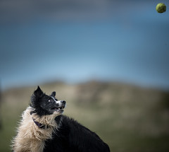 A 'Gone Past' (JJFET) Tags: border collie sheepdog dog