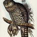 Athene strenua, Gould (Powerful Owl) Illustrated by Elizabeth Gould (1804–1841) for John Gould's (1804-1881) Birds of Australia (1972 Edition, 8 volumes). One of the most celebrated publications on Ornithology worldwide, Birds of Australia introduced more