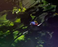 Painted Bunting (madsenusarmy) Tags: spring springtime texas naturephotographer naturephotography outdoorphotography outdoors nature wildlifephotographer wildlifephotography paintedbunting wildlife birds bird