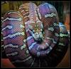Centralian Python (Seeing Things My Way...) Tags: python snake zoo coils marking camouflage tarongazoo reptile herpetology centralianpython bredli