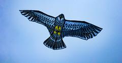 Spread Your Wings (Steve Taylor (Photography)) Tags: bird blue black yellow newzealand nz southisland canterbury christchurch newbrighton kite hawk
