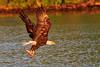 Breakfast for Me (dngovoni) Tags: virginia action adult background bird eagle jamesriver raptor spring sunrise water wildlife chester unitedstates us