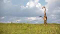 Nairobi-Nationalpark-6281-2 (ovg2012) Tags: giraffatippelskirchi kenia kenya masaigiraffe massaigiraffe nairobinationalpark safari
