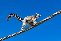 High above (begineerphotos) Tags: lemur ringedtailedlemur rope calgaryzoo 15challengeswinner friendlychallenges