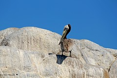 Brown Pelican clinging to the rock formation (GerdaKettner) Tags: montereypeninsula asilomarstatepark seabirds aves birds californiawildlife pacificocean westcoast brownpelican centralcoast california pacificgrove californiastatepark statepark
