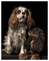 milord (Pepenera) Tags: dog dogs cane cani cavalier