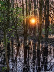 Swamp Sunset (iPhone Fotograaf) Tags: sunset evening water iphone8plus forrest groningen dutch reflection