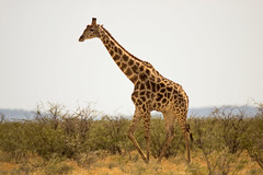 IMG_2015 (tregnier) Tags: namibia roadtrip africa travel desert animals sossusvlei leopard cheetah lion solitaire trip