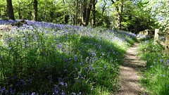[NT] Stoneywell. Bluebell Woods. May 2018 (Simon W. Photography) Tags: nationaltrust stoneywell stoneywellcottage ulverscroft charnwoodforest leicestershire nationaltrustuk ntmidlands ntstoneywell spring spring2018 may may2018 bbcspringwatch bluebells hyacinthoidesnonscripta nativebluebell bluebell englishbluebell britishbluebell granfergriggles cratae flora flowers flowerlove flowerporn flowering floraandfauna fauna nature mothernature unitedkingdom uk england english greatbritain gb britain british eastmidlands outdoor outdoors outside tree trees woodland landscape forest countryside simonhx100v sonydschx100v sonyhx100v hx100v