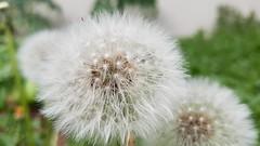 dandelion - make a wish (noisy__nisroc) Tags: dandelion flower makeawish mobil