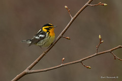 Blackburnian Warbler (Earl Reinink) Tags: animal wildlife nature earl reinink earlreinink warbler blackburnianwarbler rzaauaodza bird