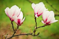 Magnolia (svpe4711) Tags: frühling spring rosa flowers nature blüte germany blume frühling licht natur light makro grün schlossdyck macro d7500 sigma105 pink topazglow magnolia flower park green garden magnolie blumen