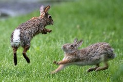 Battle Bunnies (daverazzi) Tags: bunnies bunny rabbit rabbits