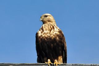 2013-11-25 Rough-legged Hawk (03) (1024x680)