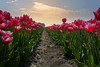 The Way Up (Alfred Grupstra) Tags: tulip nature flower springtime plant netherlands outdoors summer red flowerbed beautyinnature field flowerhead multicolored season greencolor sky leaf blossom petal