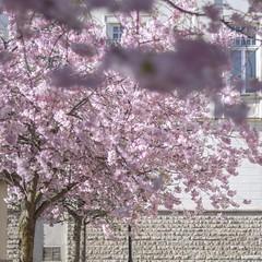 Cherry blossoms (A blond-Tess) Tags: 365days 365challenge 365photochallenge 365project dailychallenge dailyphotochallenge dailyphoto cherryblossoms blossom treeblossom blossoms springtime springblossom square sunshine bokeh fff