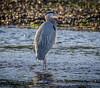 Sunset Heron (Paul Rioux) Tags: avian nature bird great blue heron esquimalt lagoon colwood outdoors wildlife shore stream water running evening sunset light reflection prioux