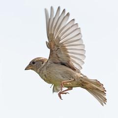 A7307136_DxO (jackez2010) Tags: ilce7m3 fe100400mmf4556gmoss bif birdinflight moineau