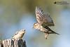Rock sparrow - Gorrión chillón - Passera lagia (Campanarios de Azaba) Tags: rocksparrow gorrion birds aves pajaros passeriforme campanariosdeazaba nature animals animalplanet hide wildlife