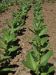 Broad Beans (amandabhslater) Tags: garden vegetables plants broadbeans plant soil