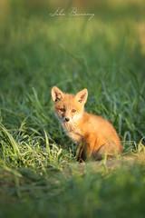 Fox Kit (johnbacaring) Tags: fox pup kit wildlife foxpup foxkit nature ilovenature naturephotography