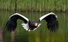 Here i come (tomaszbaranowski007) Tags: bird avifauna vogel colors color nature natuur nikon tamron fly