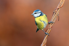 blue tit (leonardo manetti) Tags: bird nature red winter colours naturephotography field natural nikkor countryside green morning black blue tit uccello wood forest