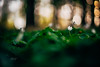 #204 - Anemone / Sasanka (photo.by.DK) Tags: yellow anemone anemones woods forest flower spring springbloom springflower oldlens legacylens manuallens manualfocus manual manualondigital wideopen wideopenbokeh shotwideopen depthoffield dof planar planar50 planar5014 czplanar carlzeiss carlzeissplanar carlzeissplanar5014 zeiss zeisslens 50mm sonya7 sonyilce sony sonyalpha sonya7ii fullframe artbydk photobydk bokeh bokehlicious