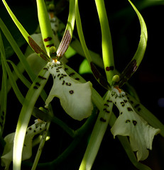 Brassia Rex 'Sakata' primary hybrid orchid (nolehace) Tags: brassia rex sakata primary hybrid orchid 418 cultivar fragrant spring nolehace sanfrancisco fz1000 flower bloom plant