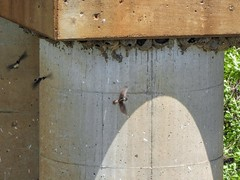 Cliff Swallows (clarkcg photography) Tags: birds nests mud cliffswallows swallows fight bugs mosquitoes flies insects concrete bridge railroad faunasunday sundayfauna 7dwf